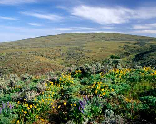 Cowiche Canyon Conservancy Creek Hiking Trails Wildflowers Balsamroot Yakima, WA Conservation Photo: David Hagen Education