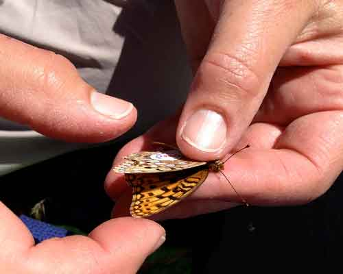 Cowiche Canyon Conservancy BUTTERFLY SAFARI: CORONIS TAGGING Conservation Project Yakima WA
