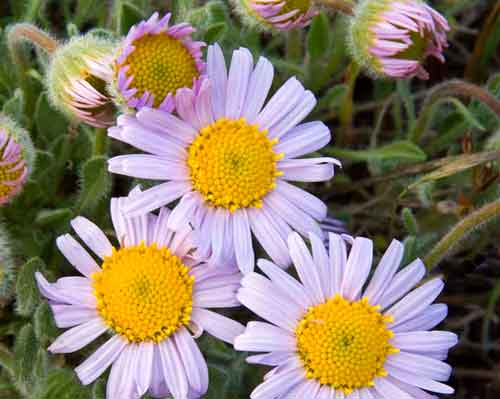 Cowiche Canyon Conservancy Wildflower Erigeron Daisy Snow Mountain Ranch Hiking Recreation Shrub-Steppe