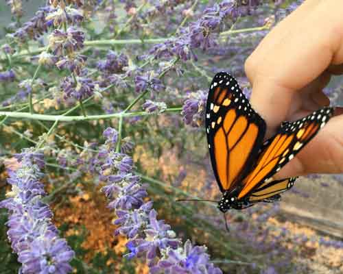 Cowiche Canyon Conservancy MUSIC & MONARCHS BUTTERFLY RELEASE PARTY 2018 Conservation
