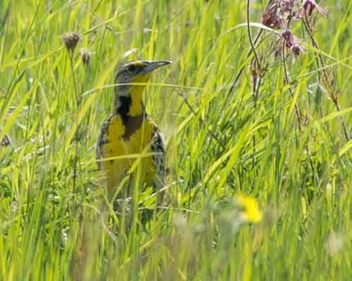 Cowiche Canyon Conservancy Meadowlark Bird Grass Snow Mountain Ranch Hiking Recreation Shrub-Steppe