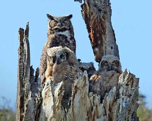 Great Horned owl owlets Balanced Rock Trail Snow Mountain ranch Cowiche Canyon Conservancy Photo: Kathy Gregory