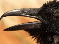 19-20 Nature's Storytellers Poster Raven