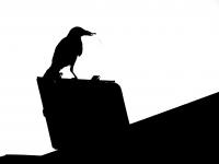 Raven sil