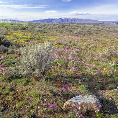 Boulder, Wildflowers, & Mt Cleman, Cowiche Canyon Uplands 12-03.13